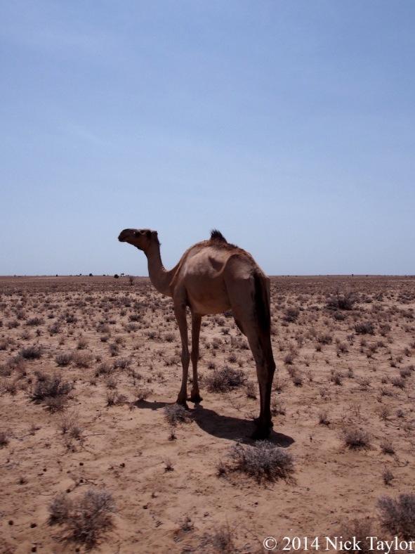2014_Camel