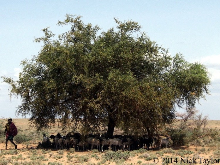 2014_Herding goats in the sun and shade
