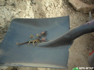 Huge scorpion joing the Nasura 1 excavation