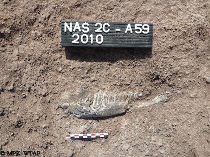 Nasura 2C_fossil