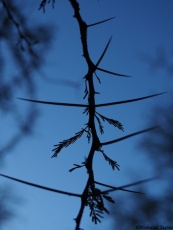 2016_Acacia thorns in silhouette
