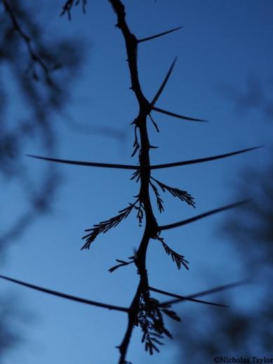 2016_Acacia thorns in silhouette