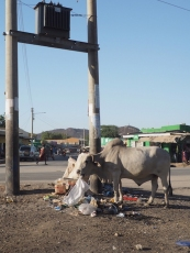 A white cow eating trash in Lodwar
