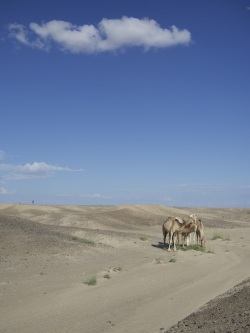 Camels on survey