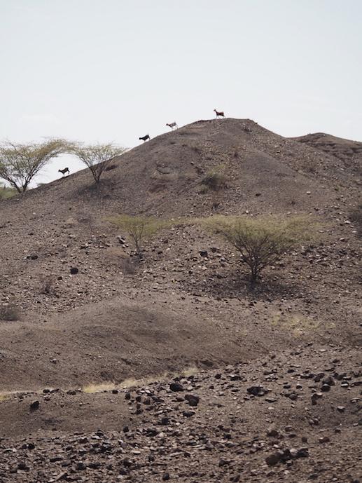 Goats in line near Lomekwi 3