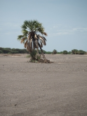A lonely palm tree in the middle of a sandy dry riverbed